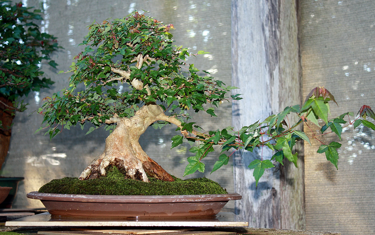 Trident Maple - under construction