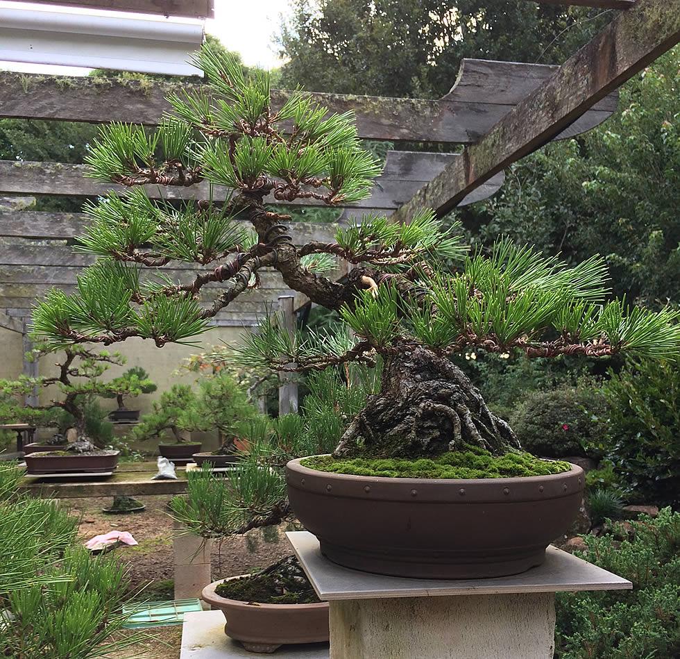austrlian-bonsai-gallery-kuroMatsu-02