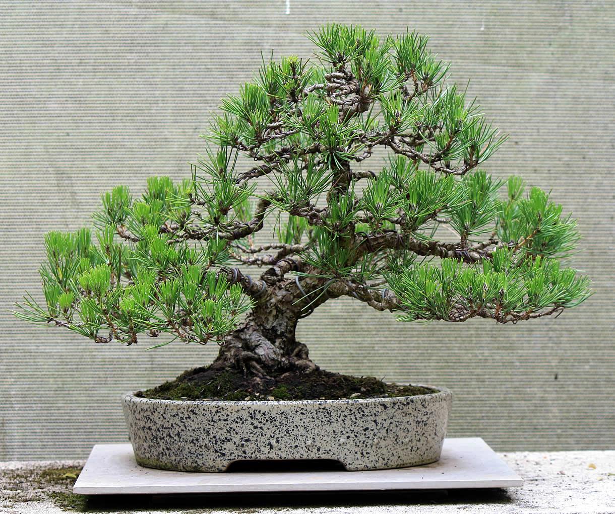 black-pine-06