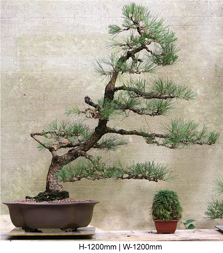 black-pine-windswept-front