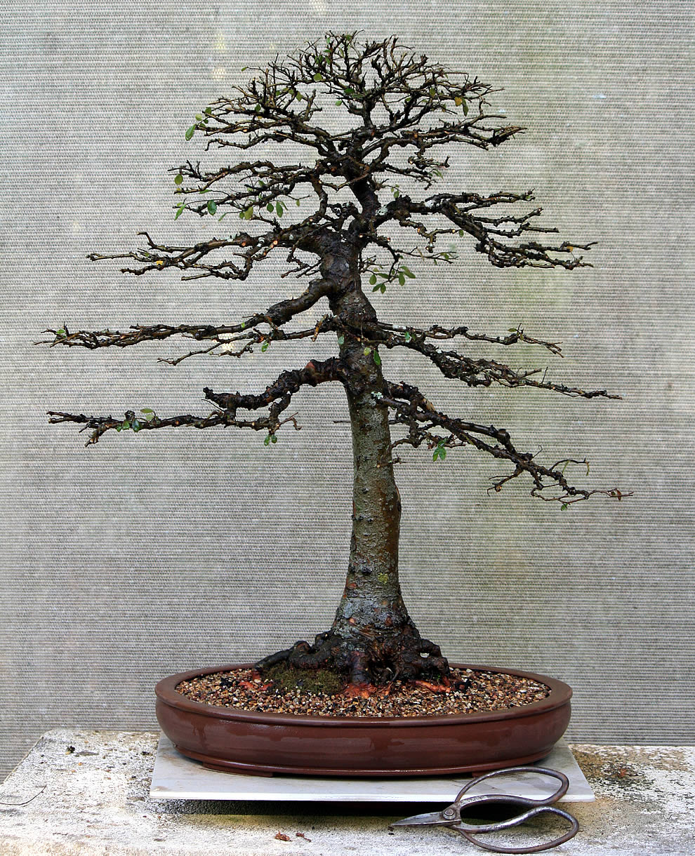 chinese-elm-04-australian-bonsai-gallery