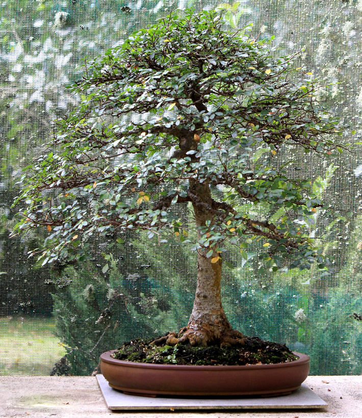 chinese-elm-bonsai-01