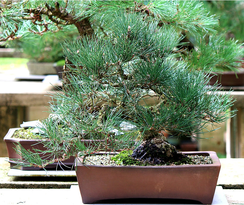 japanese-black-pine-bonsai-02