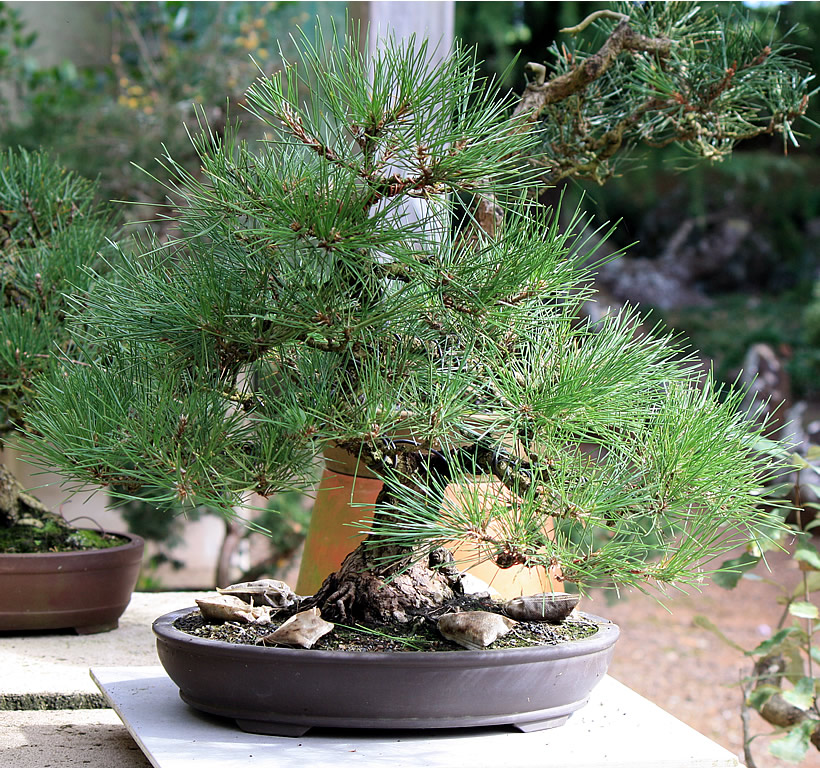 japanese-black-pine-bonsai-03