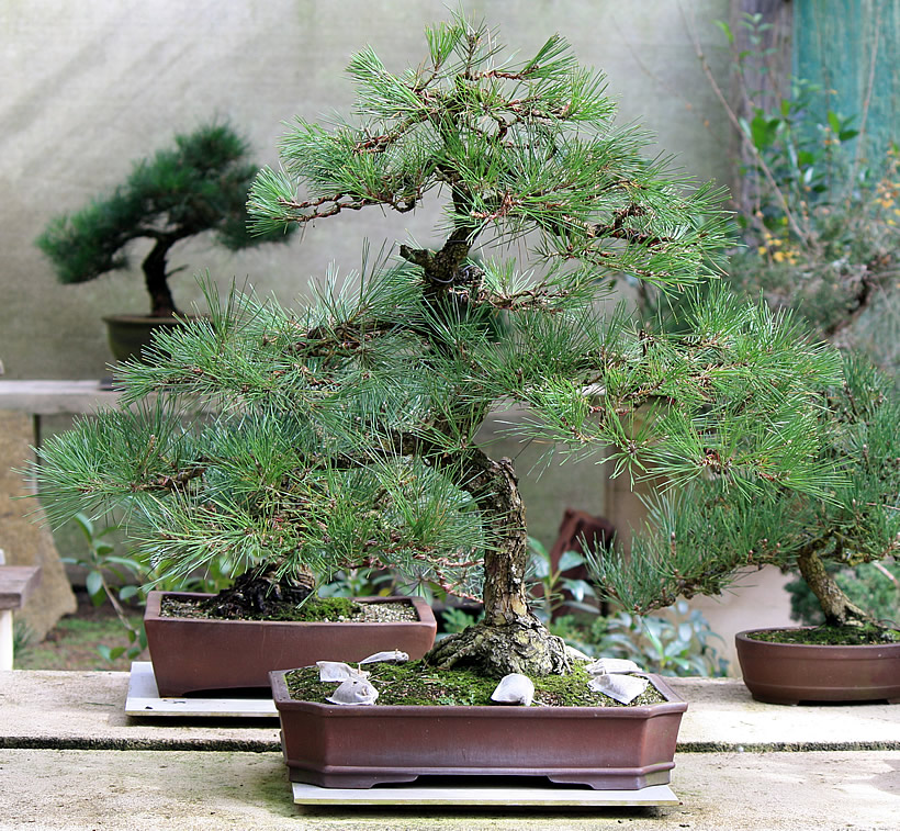 japanese-black-pine-bonsai-04