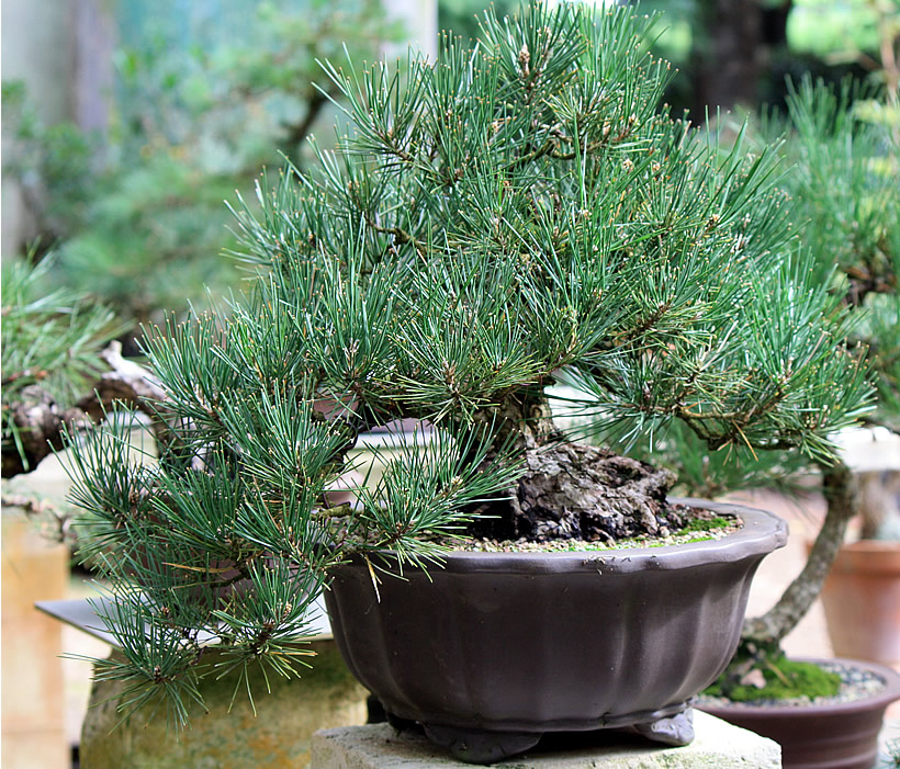 japanese-black-pine-bonsai-07