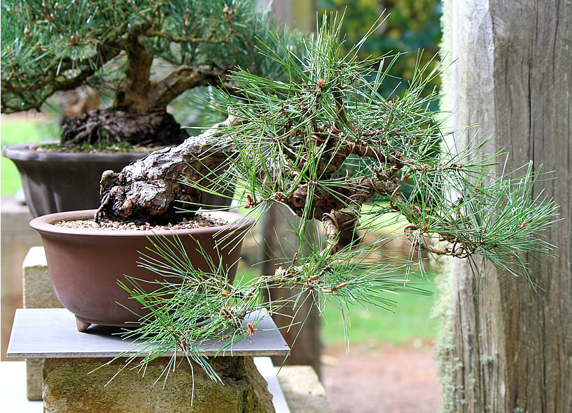 japanese-red-pine-bonsai-01
