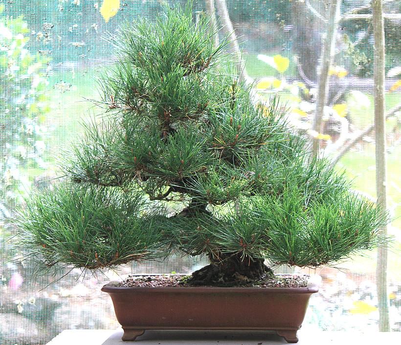japanese-red-pine-bonsai-02