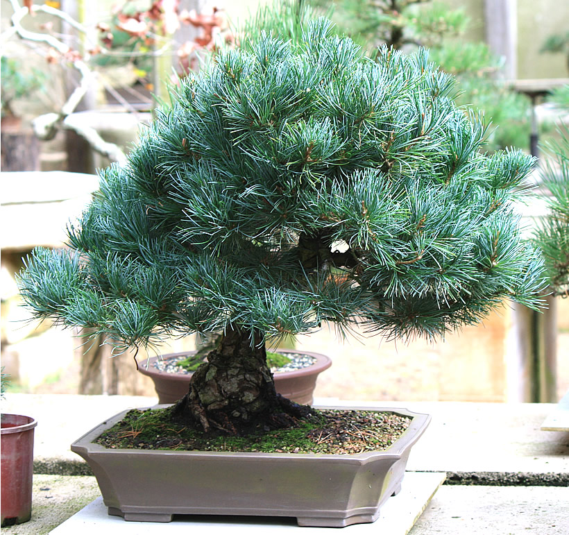 japanese-white-pine-bonsai-01