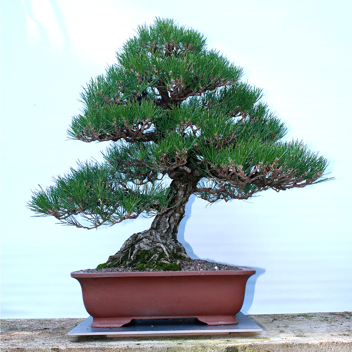 KuroMatsu - Back from 2yrs on show at the National Bonsai Collection Canberra