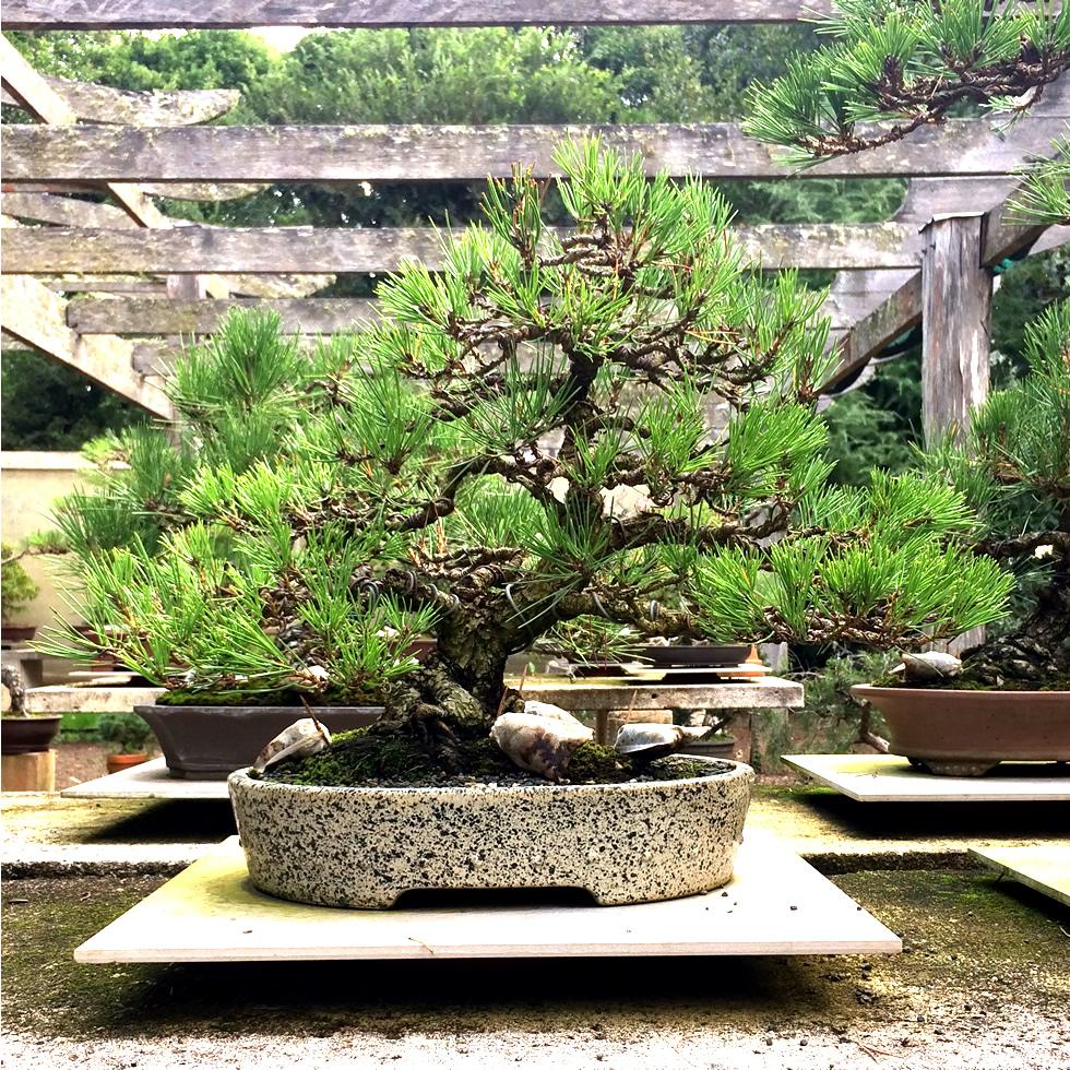 kuro-matsu-australian-bonsai-gallery-09