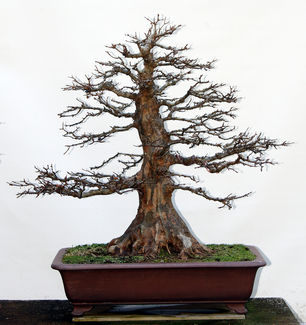 old-trident-maple-bonsai-gallery