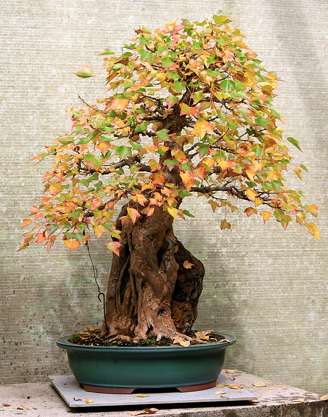 Trident Maple - 'root-over-rock' Autumn 2017