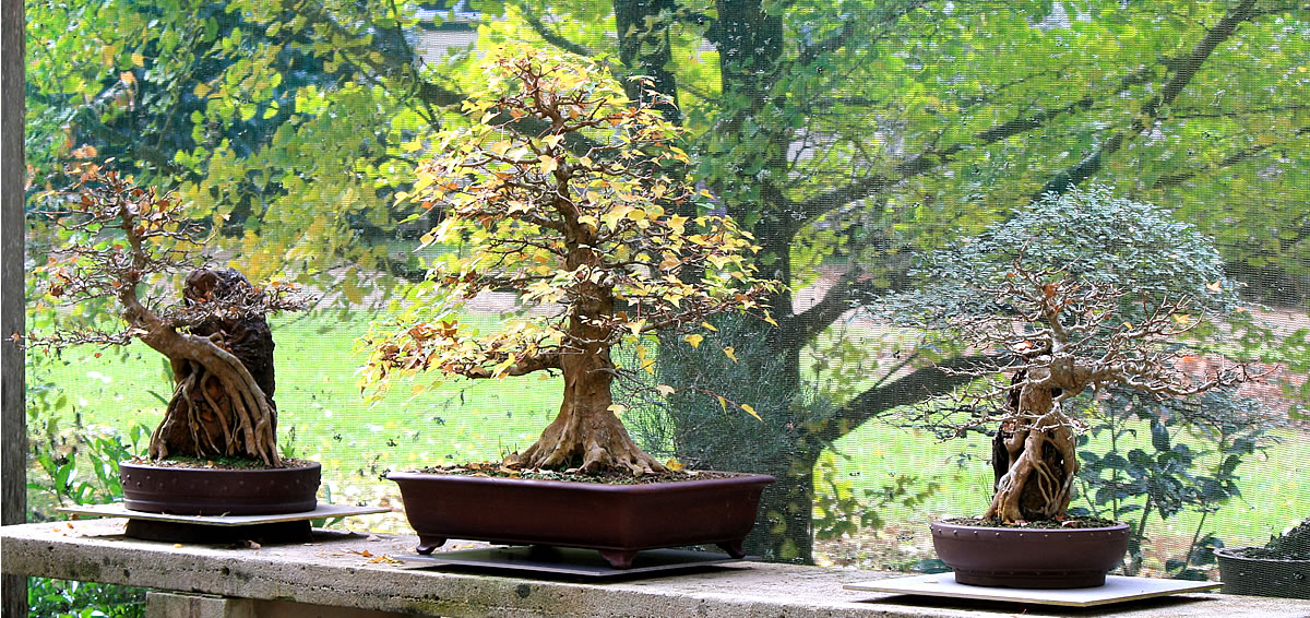 Trident Maples - Autumn 2017 - 2 are now on loan to The National Bonsai & Penjing Collection Canberra