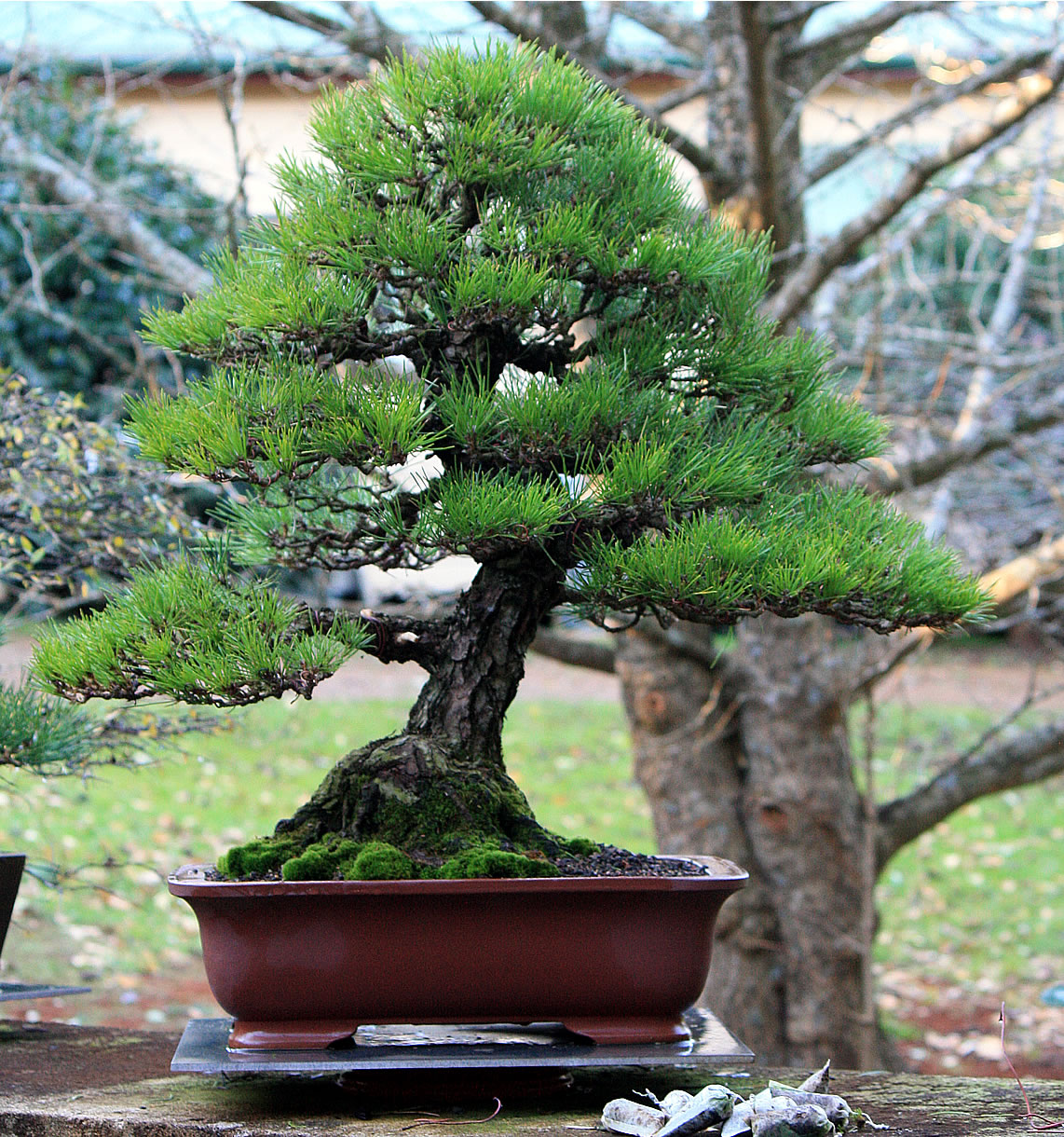 black pine bonsai 02