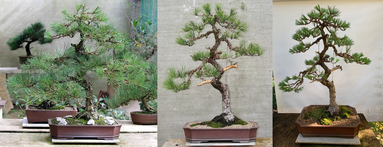 japanese black pine bonsai 04a literati