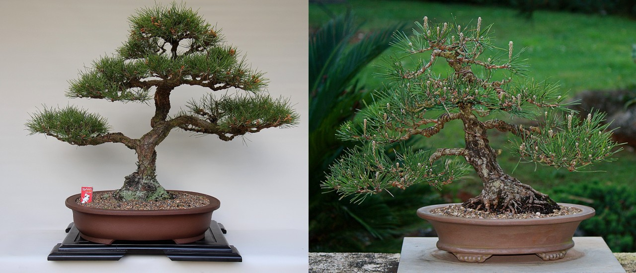 japanese black pine for sale
