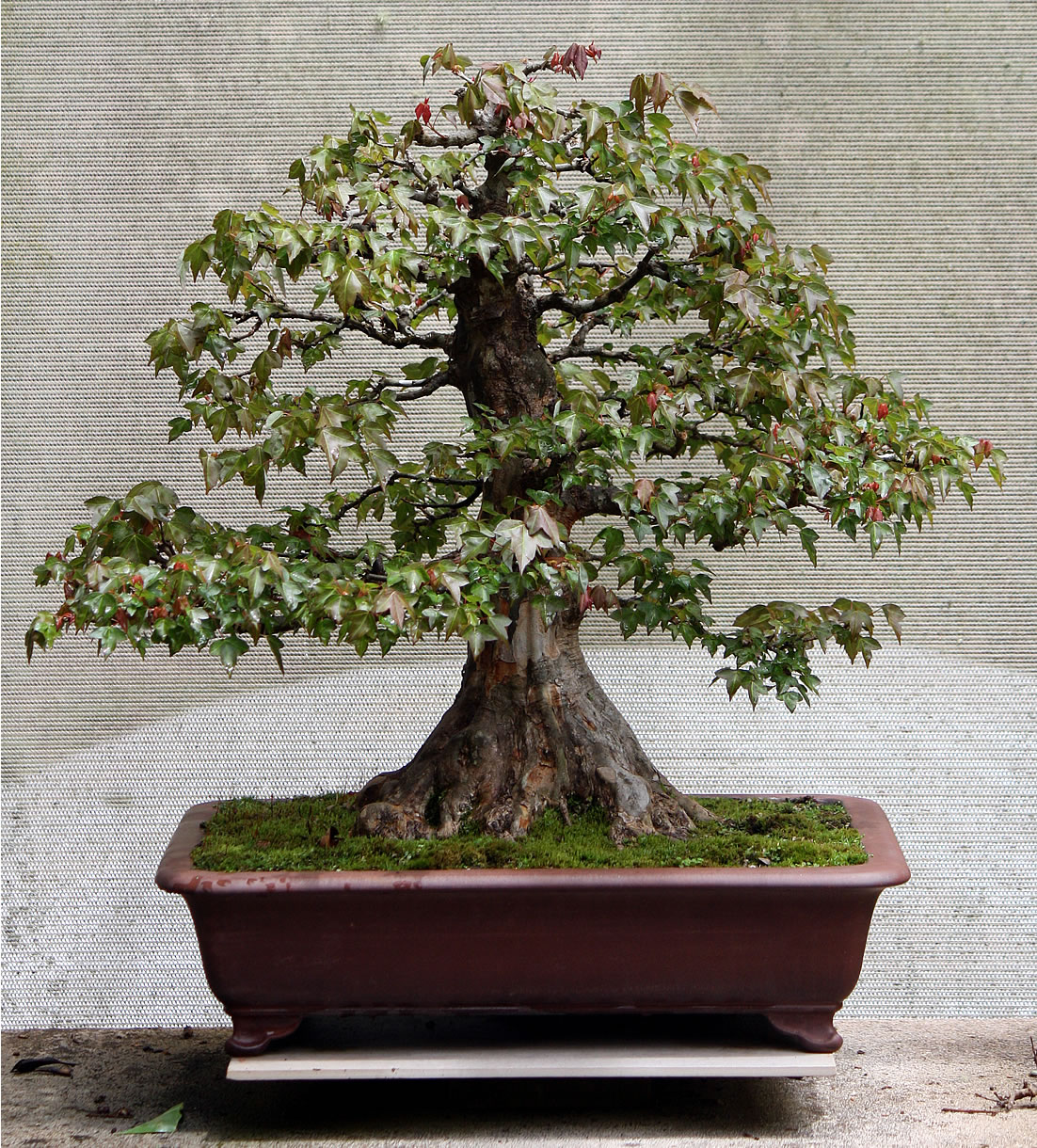 trident maple shortened