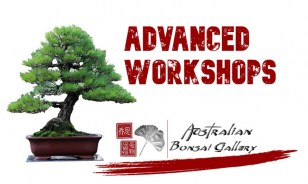 australian-bonsai-gallery-advanced-workshops