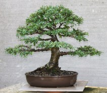 chinese-elm-01-2019-10