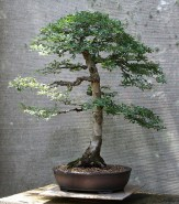 chinese-elm-11-2019-10