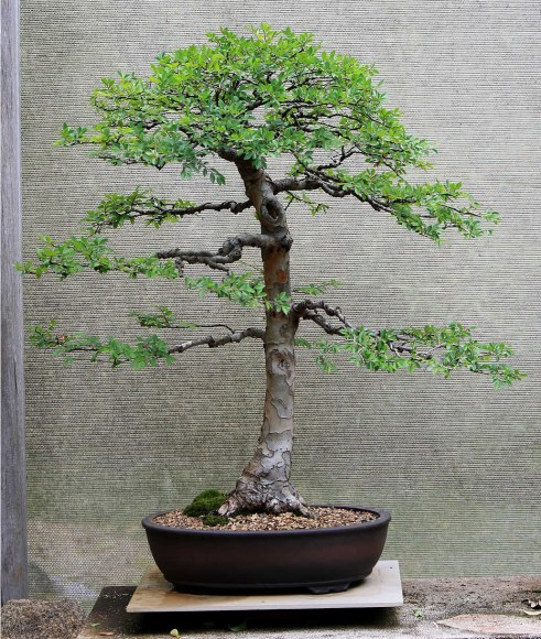 chinese-elm-bonsai-08