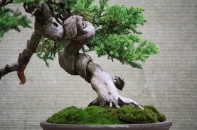 juniperus-procumbins-bonsai-02a-trunk-detail