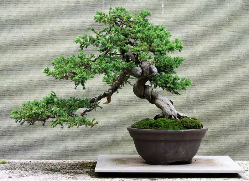 juniperus-procumbins-bonsai-02a