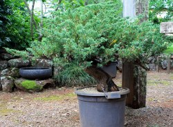 juniperus-procumbins-bonsai-stock-02