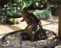 juniperus-procumbins-bonsai-stock-02a