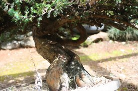 juniperus-procumbins-bonsai-stock-02c