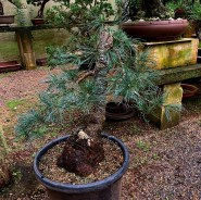 large-japanese-white-pine-for-sale-02