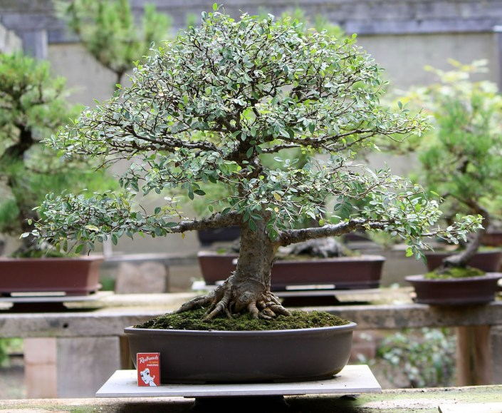 sakura-bonsai-gallery-chinese-elm-01