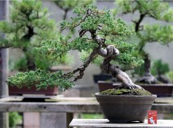 sakura-bonsai-gallery-procumbins-01