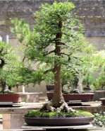 sakura-bonsai-gallery-swamp-cypress-01