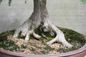 sakura-bonsai-gallery-swamp-cypress-02-nebari