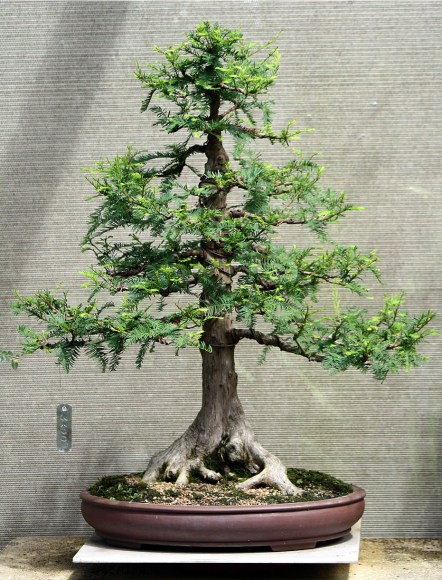sakura-bonsai-gallery-swamp-cypress-02