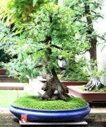 sakura-bonsai-gallery-swamp-cypress-03