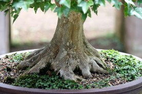 sakura-bonsai-gallery-trident-maple-01-nebari