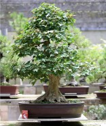 sakura-bonsai-gallery-trident-maple-01
