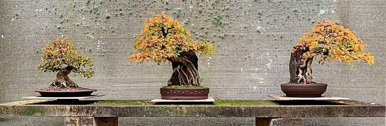 australian-bonsai-gallery-autumn-2020-trident-maples