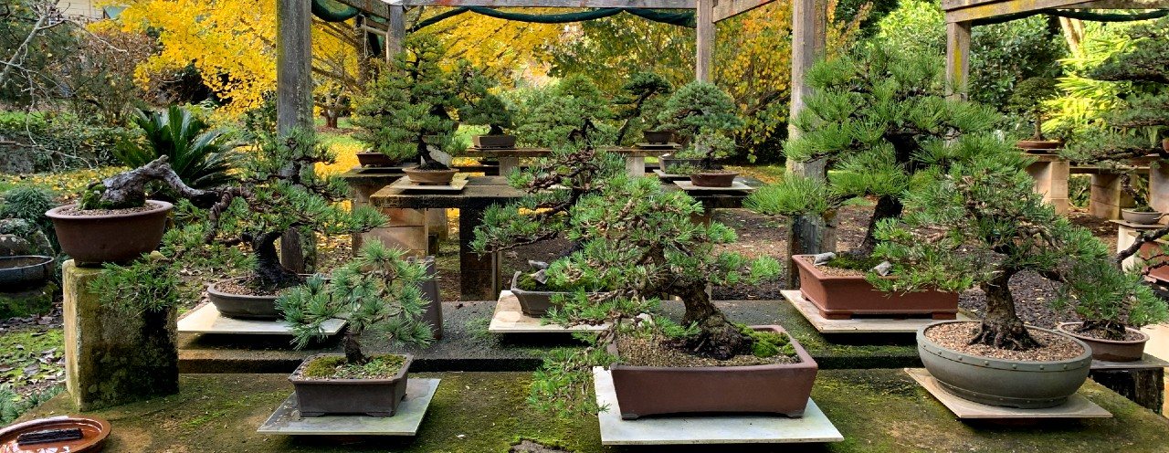australian-bonsai-gallery-autumn-pines