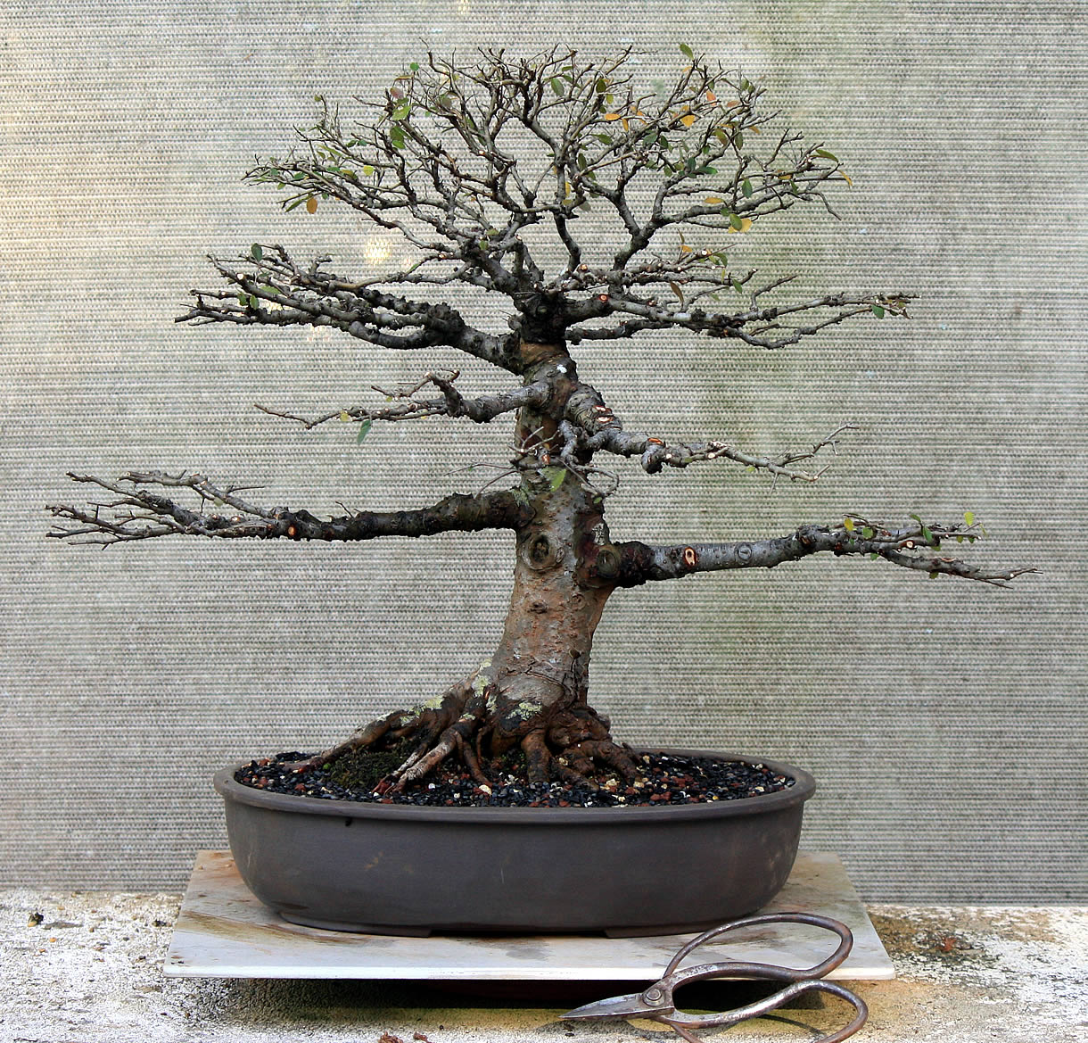 chinese-elm-01-australian-bonsai-gallery