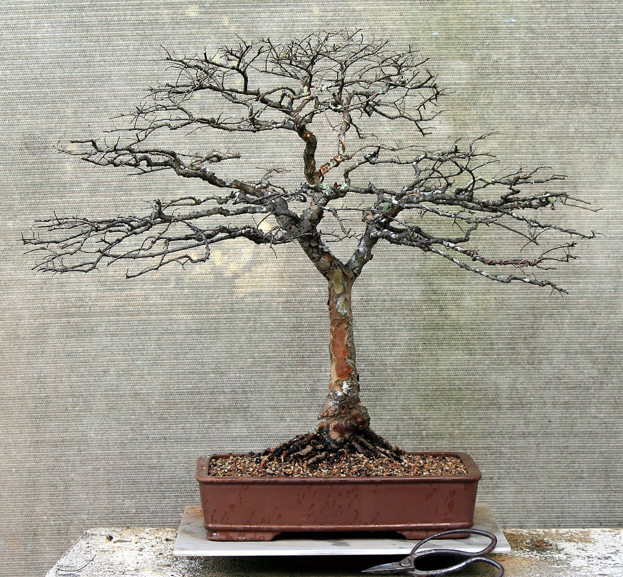 chinese-elm-05-australian-bonsai-gallery