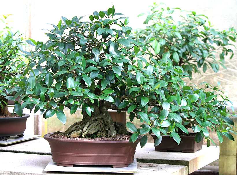 ficus-macrophilla-bonsai