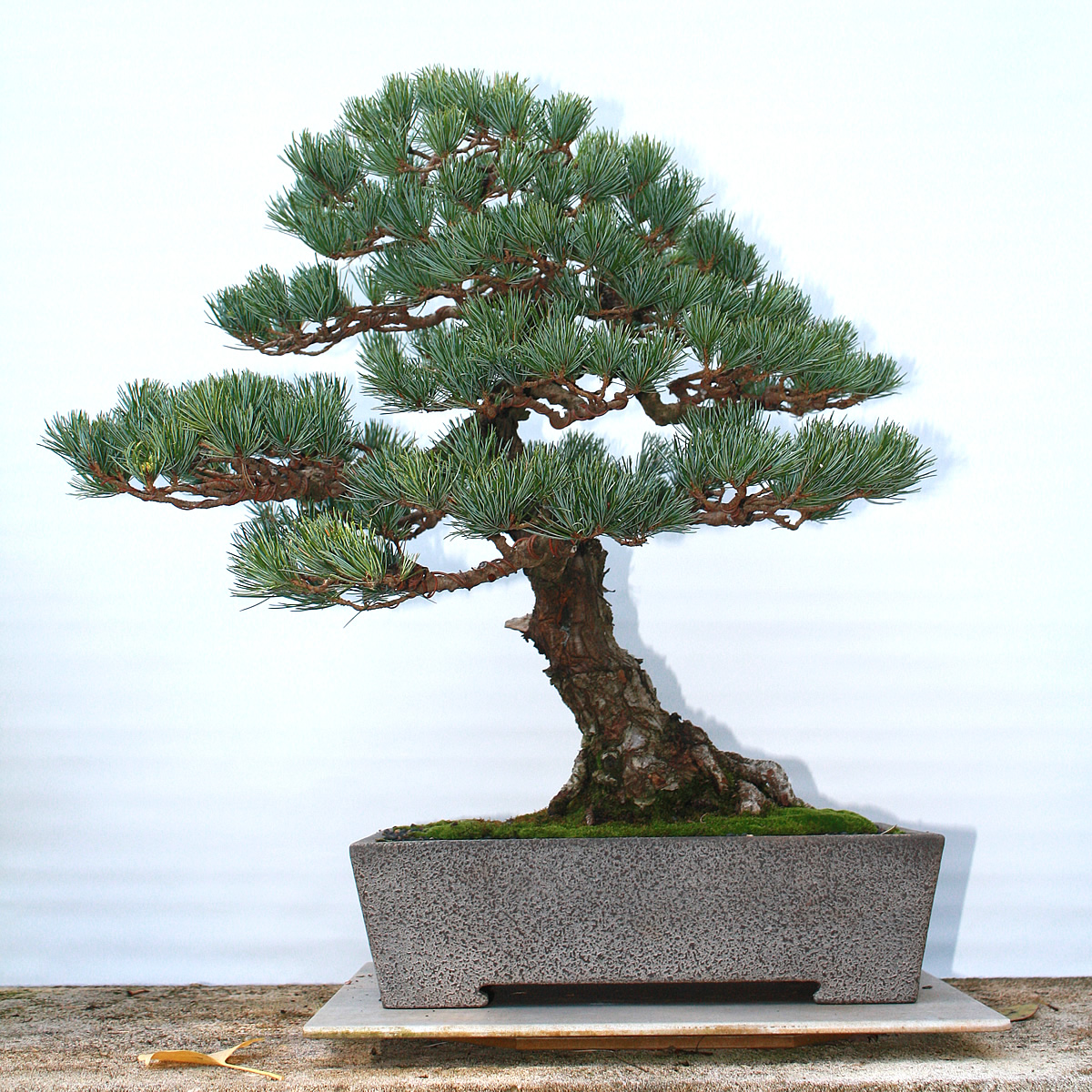 GoyoMatsu - Back from 2yrs on show at the National Bonsai Collection Canberra