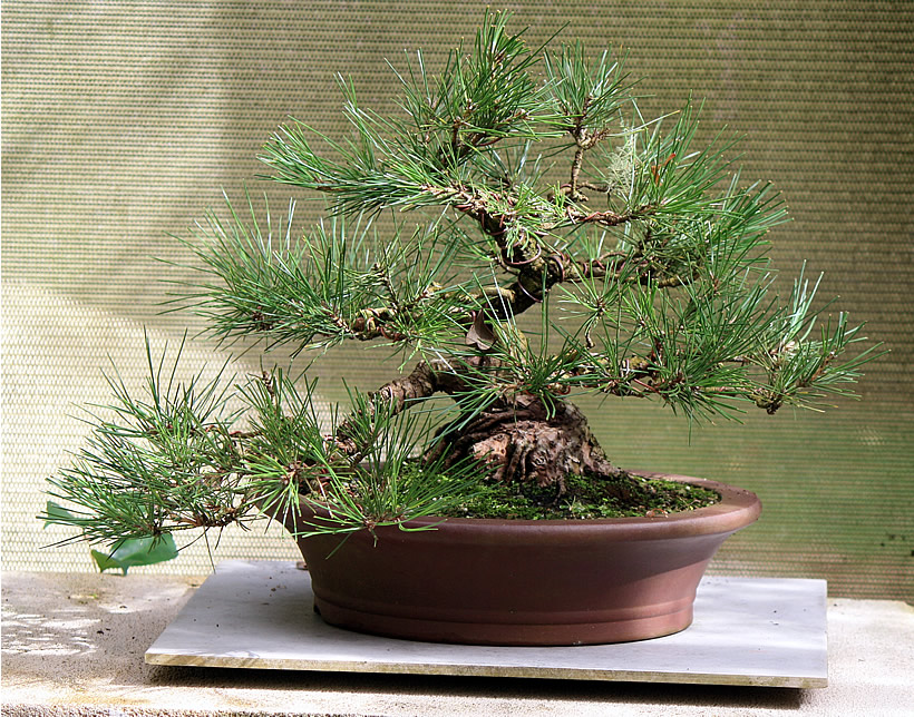 japanese-black-pine-bonsai-01