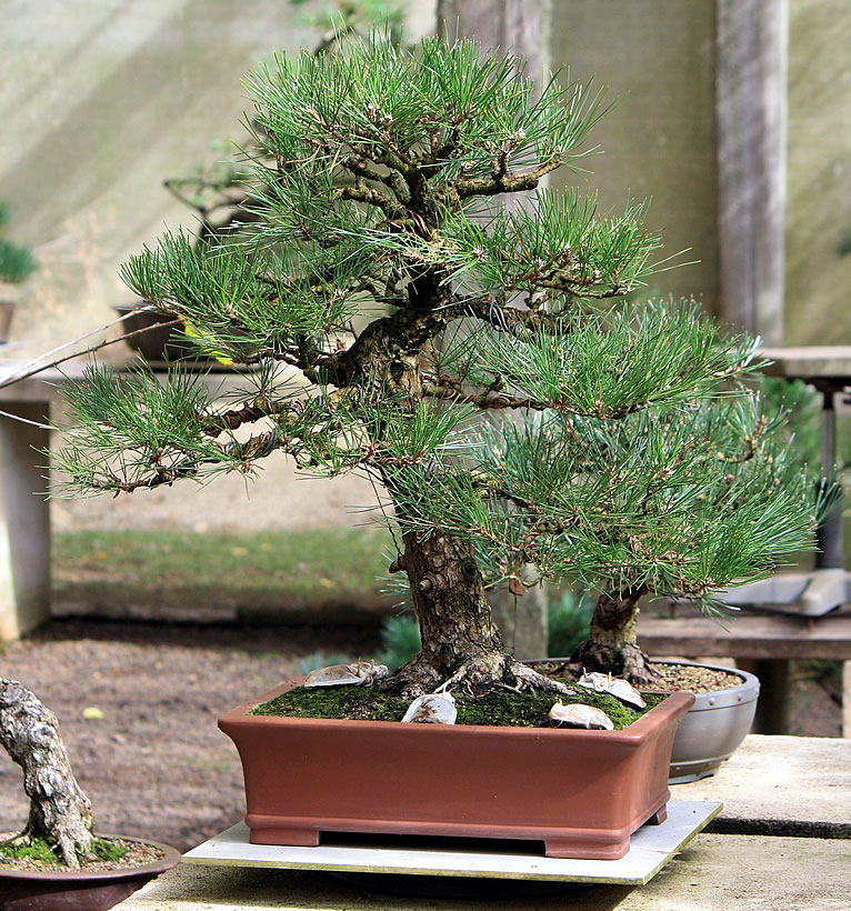 japanese-black-pine-bonsai-05