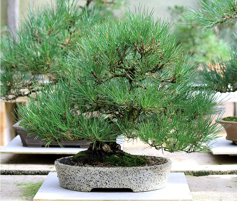 japanese-black-pine-bonsai-06