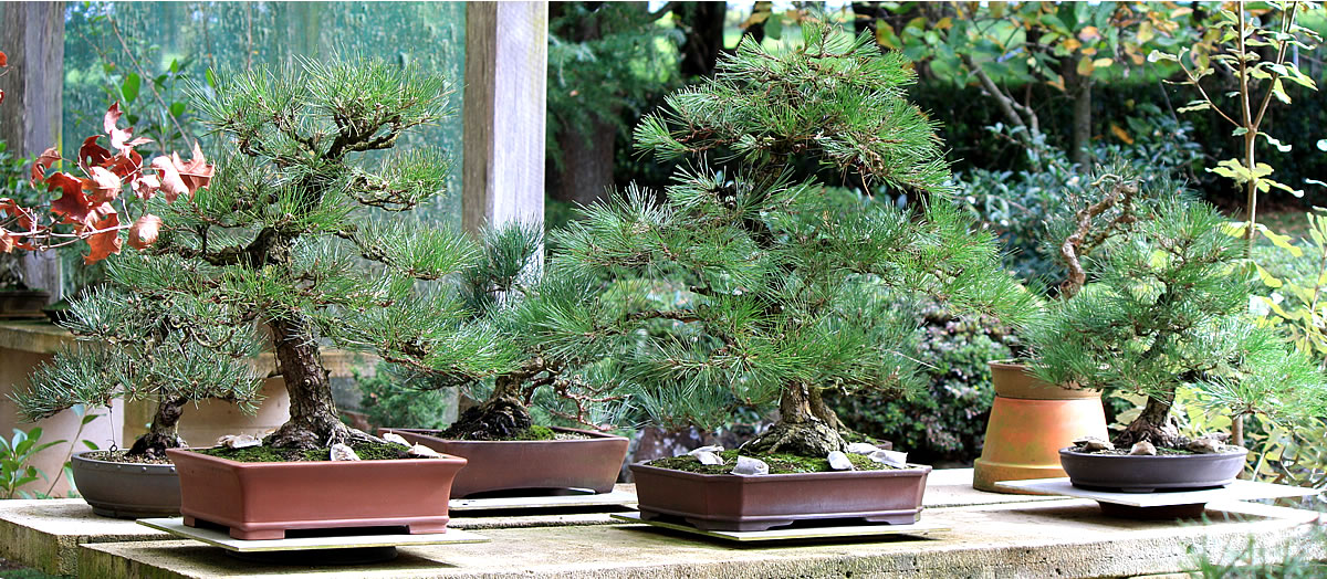 japanese-black-pine-group-bonsa-01i
